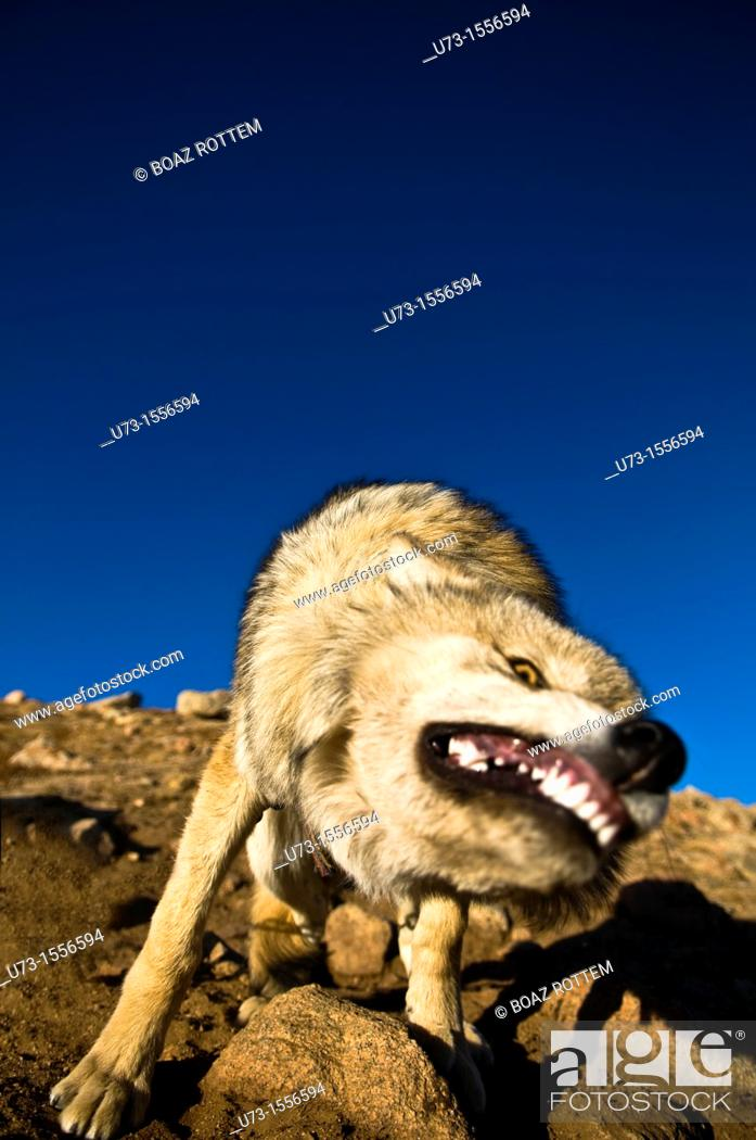 Stock Photo: A wild wolf in the Altai region of western Mongolia.