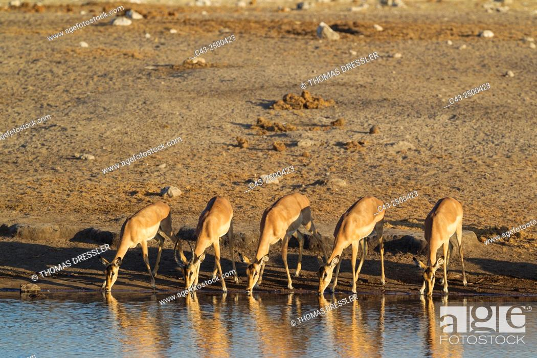 Imagen: Black-Faced Impala (Aepyceros melampus petersi) - Group of females and one juvenile male (second from left with horns) drinking at a waterhole.