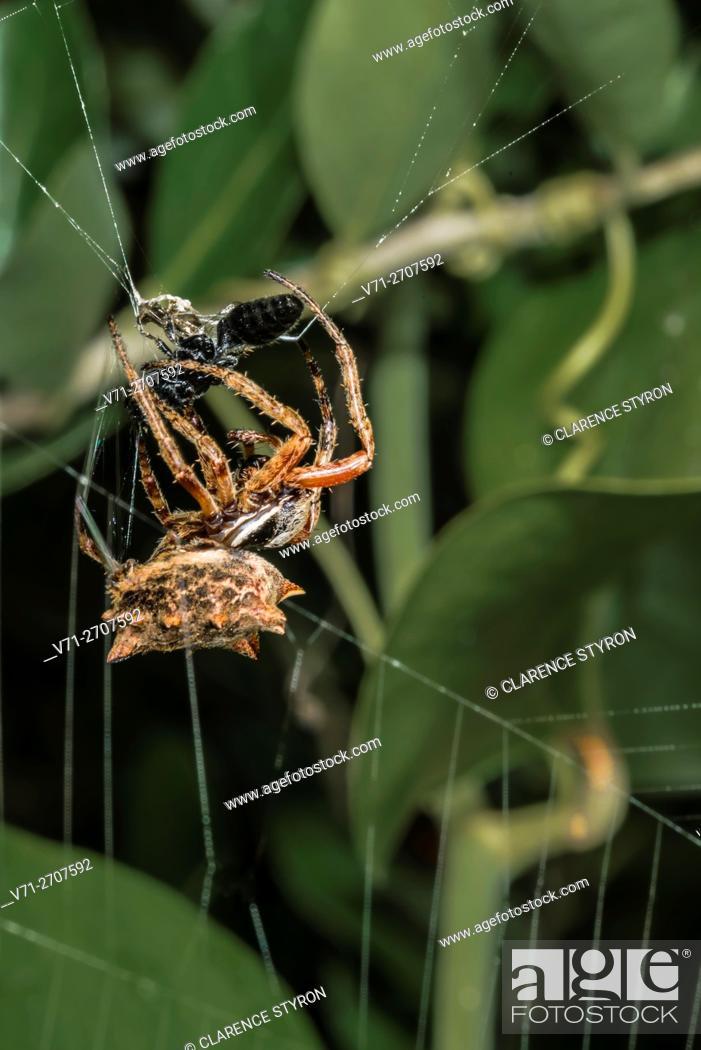 Stock Photo: Arrow-shaped Micrathena (Micrathena gracilis) Spider Ensnaring Small Black Wasp. Corolla, Currituck County, Outer Banks, North Carolina USA.