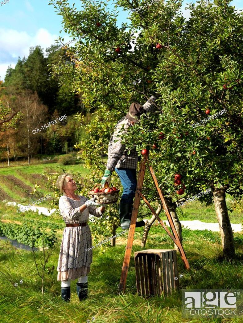 Stock Photo: Mature couple picking apples.