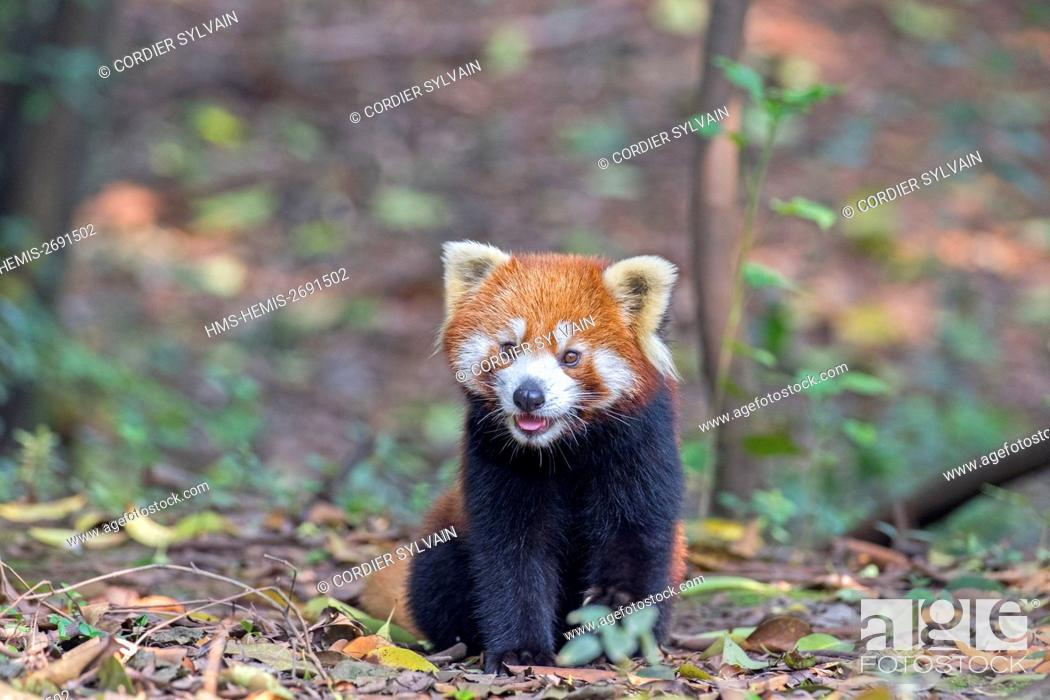 Stock Photo: China, Sichuan, Research Base of Giant Panda Breeding or Chengdu Panda Base, Red Panda (Ailurus fulgens), captive, on the ground.