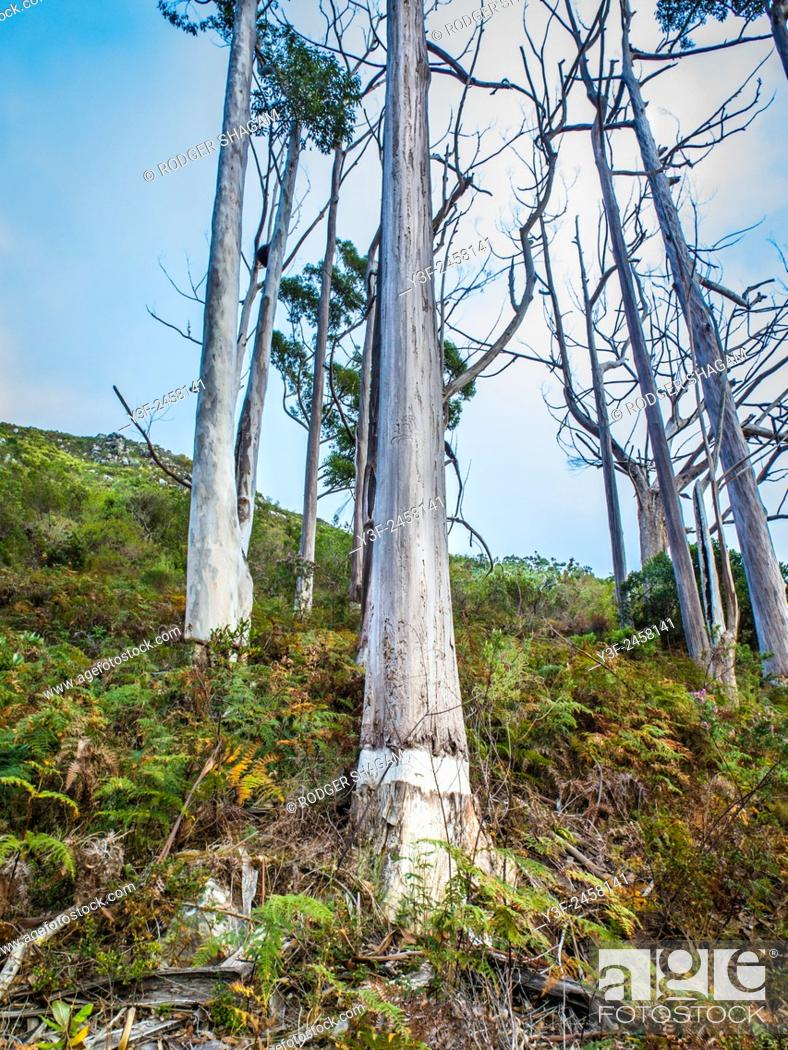 Stock Photo: A stand of ring-barked gum trees. The ring-barking eventually kills the tree. Cape Town, South Africa.