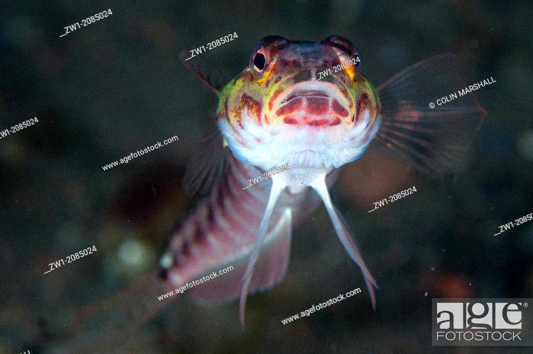 Stock Photo: Red-spotted Sandperch (Parapercis schauinslandi) head-on at Seraya in Bali in Indonesia.
