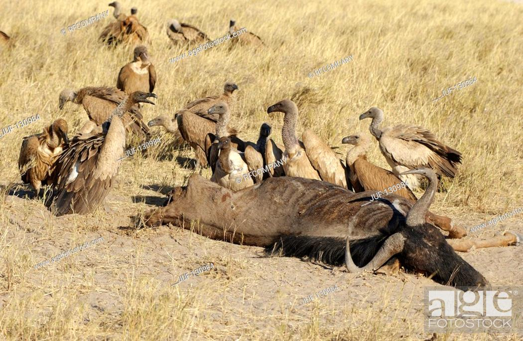 Imagen: white-backed vultures next to carcass / Gyps africanus.