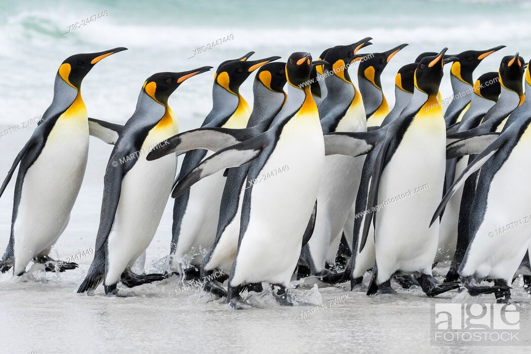 Imagen: King Penguin (Aptenodytes patagonicus) on the Falkand Islands in the South Atlantic. Group of penguins marching on sandy beach towards their colony.