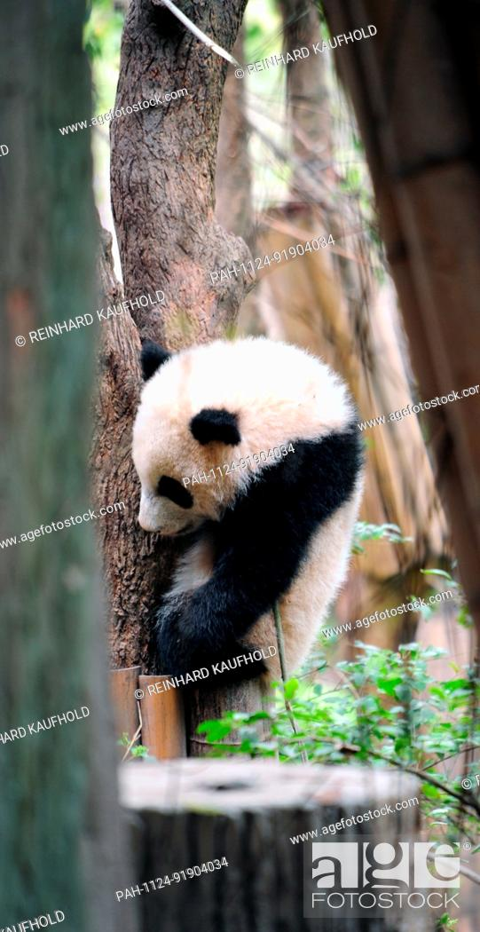 Stock Photo: The panda bear is a rare species at risk of extinction. They can be seen at China's biggest panda breeding centre in Chengdu in the south west of the country.