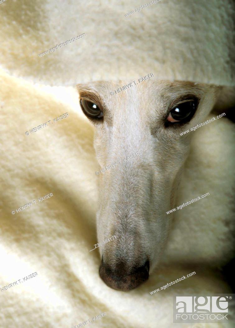 Stock Photo: Polish Hound with blanket.