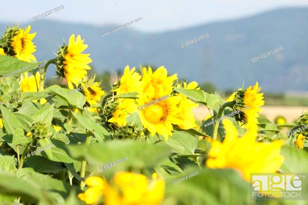 Stock Photo: Grunge photo of blooming sunflower field.