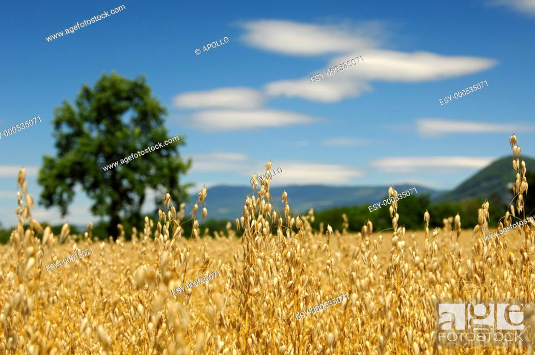 Stock Photo: Field with golden ripe oats, Switzerland.
