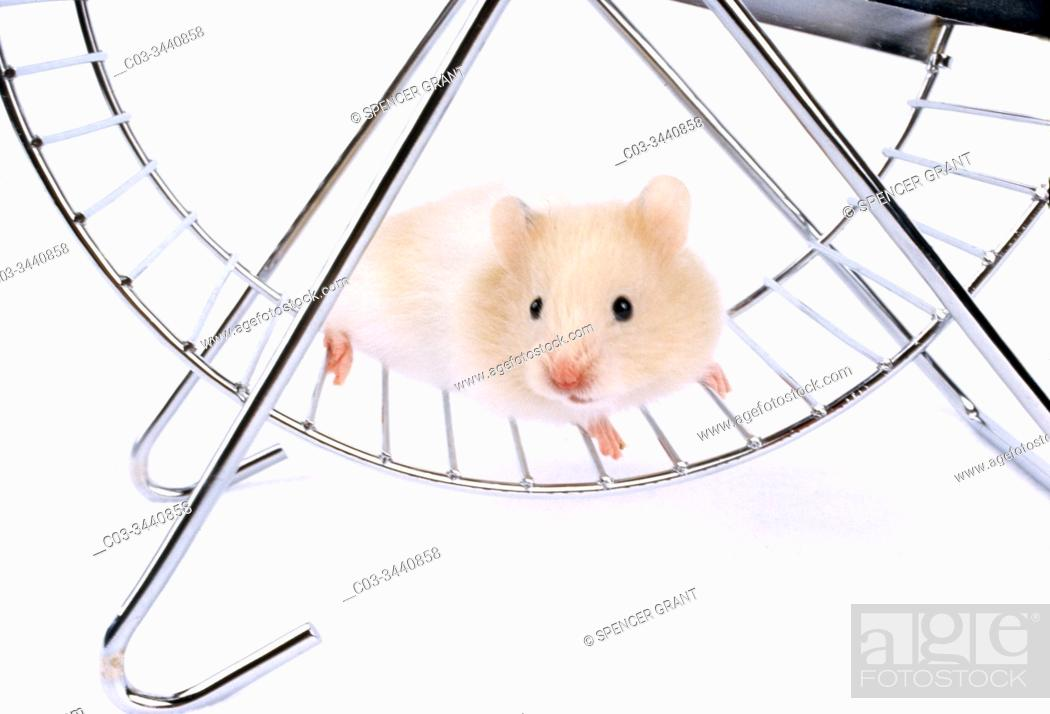 Stock Photo: A worried-looking white hamster poses in an exercise wheel in Laguna Beach, CA.