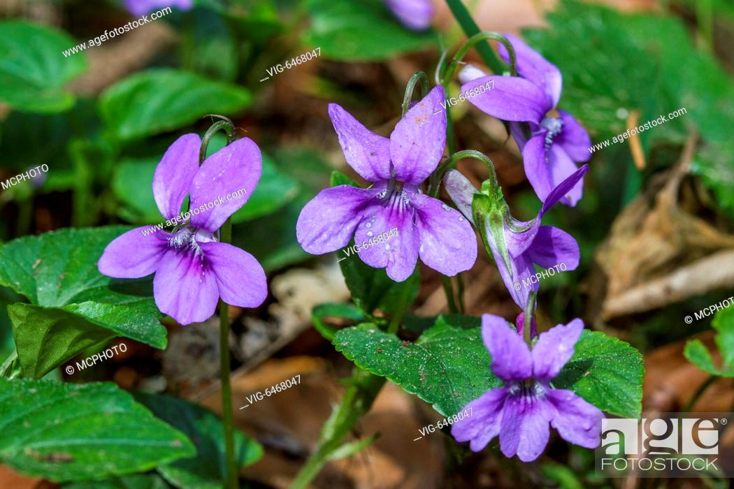 Stock Photo: Wald-Veilchen (Viola reichenbachiana) - Germany, 21/04/2014.