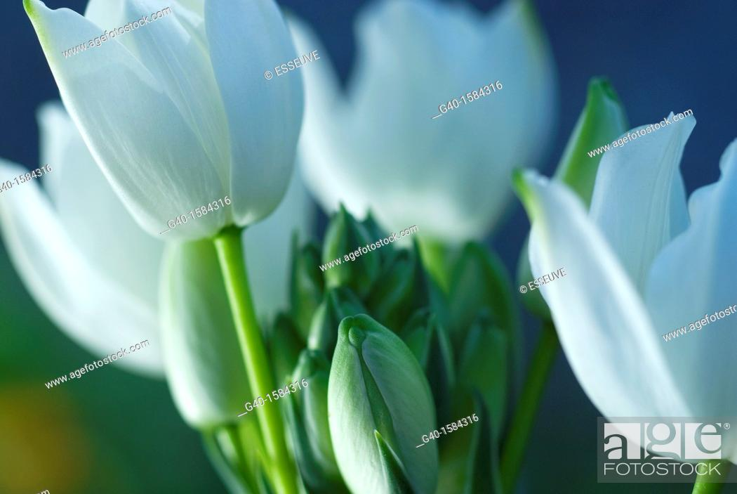 Stock Photo: Tulips (Tulipa).