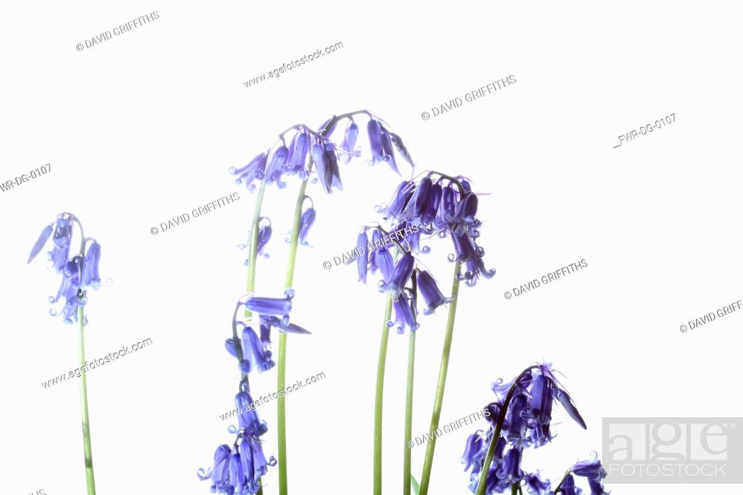 Stock Photo: Bluebell, English bluebell, Hyacinthoides non-scripta, Stems and pale blue flower heads shown against a pure white background.