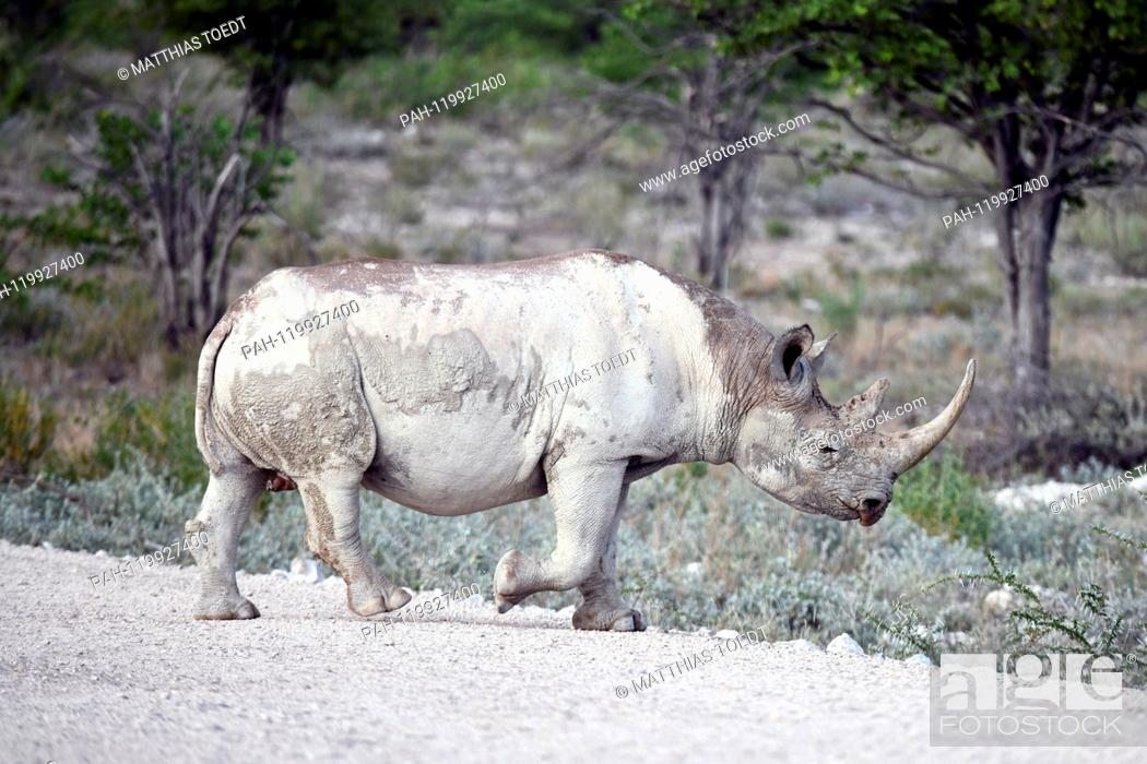 Stock Photo: Black Rhinoceros in Etosha National Park crosses a path, taken on 05.03.2019. The Black Rhinoceros (Diceros bicornis) is an open savannah and the second largest.