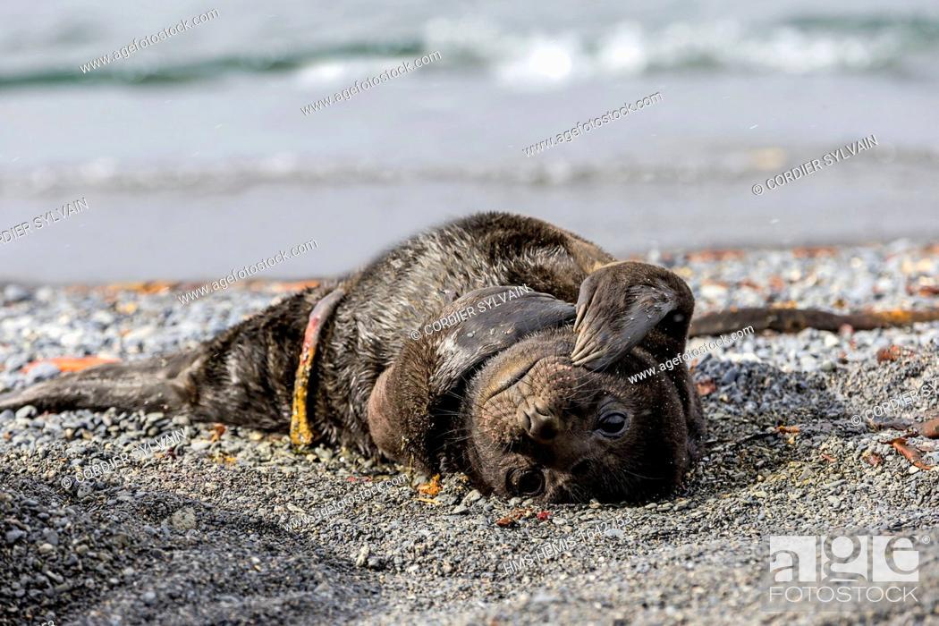 Stock Photo: Antarctic, South Georgia Island, Prion island, Southern Elephant Seal (Mirounga leonina), new born baby.