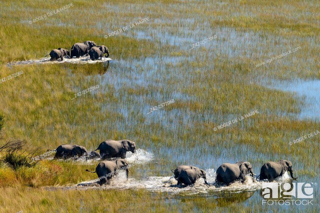 Imagen: Aerial view of African Bush Elephant (loxodonta africana) herd. Okavango Delta. Botswana.