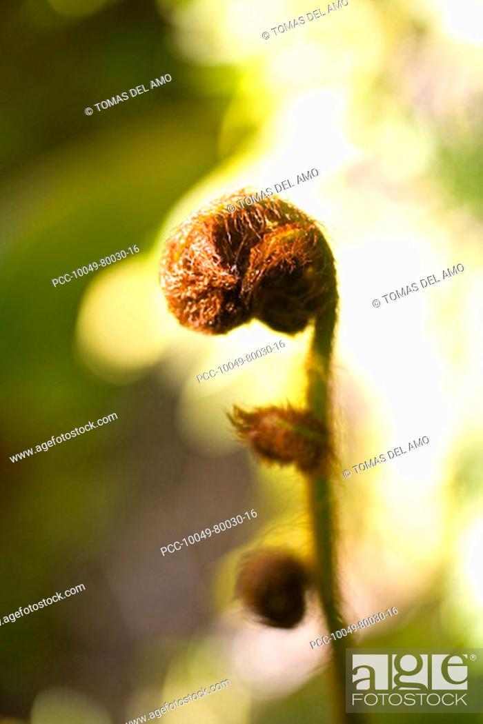 Stock Photo: Close-up of a curled brown, fuzzy hapu'u fern, blurred background.