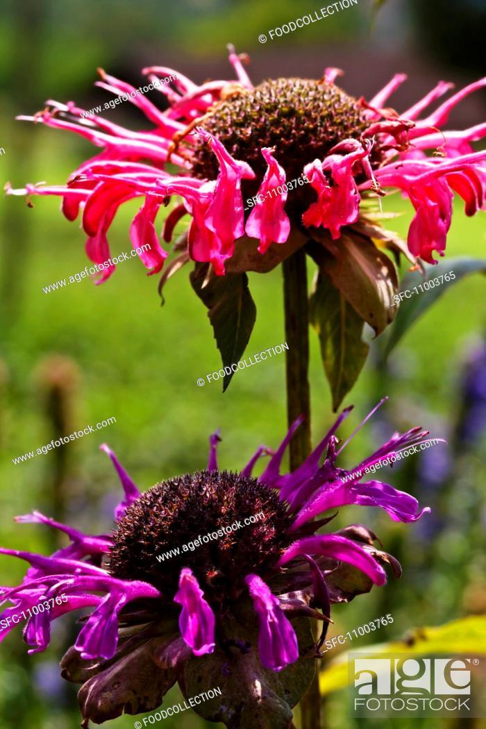 Stock Photo: Bergamot flowers.