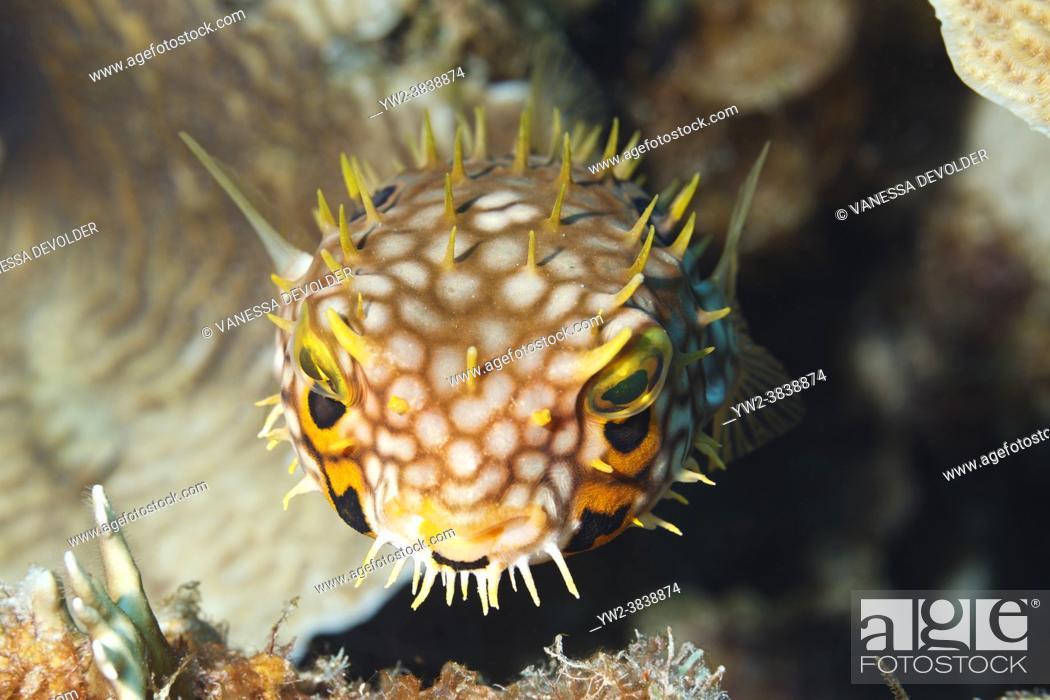 Stock Photo: Balloonfish in the Caribbean sea around Bonaire.