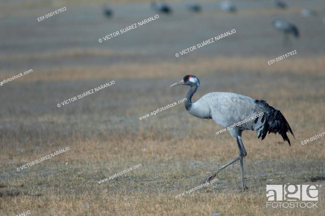 Stock Photo: Common crane (Grus grus). Gallocanta Lagoon Natural Reserve. Aragon. Spain.