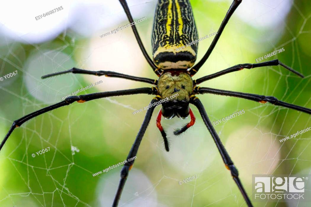 Stock Photo: Image of Spider Nephila Maculata, Gaint Long-jawed Orb-weaver in the net. Insect Animal.