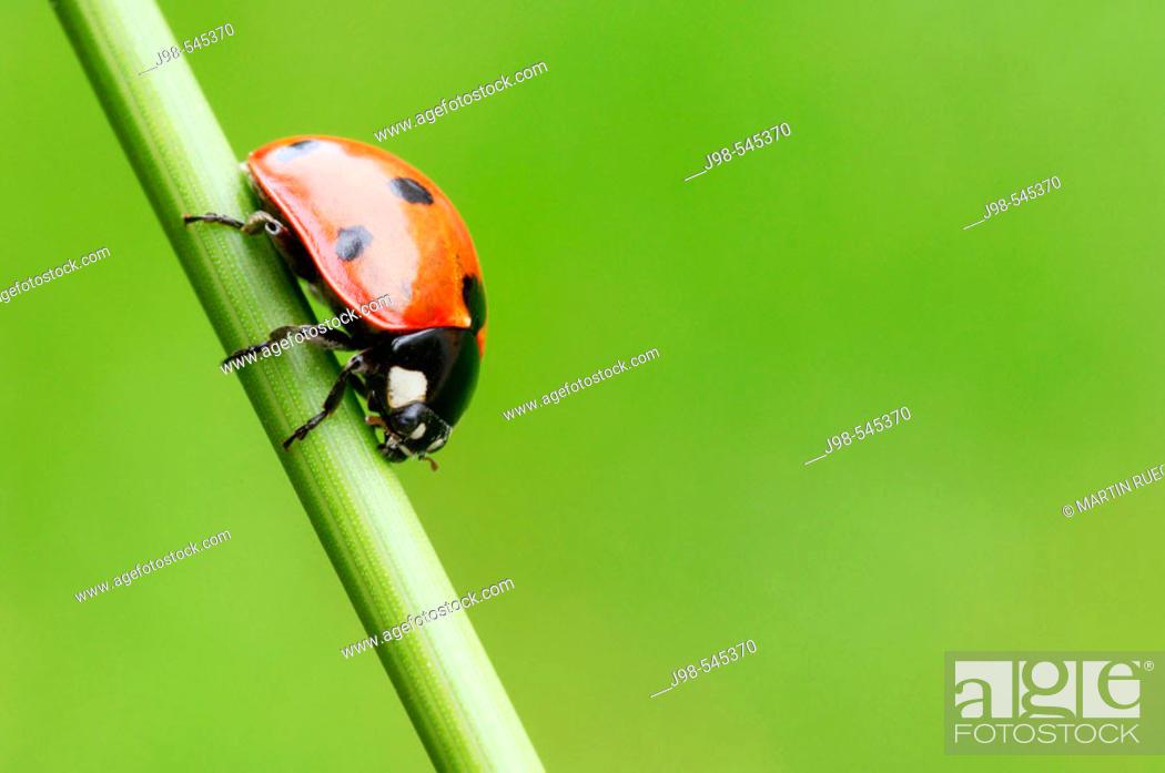 Stock Photo: Seven-spot Ladybird (Coccinella septempunctata). Bavaria, Germany, Europe.