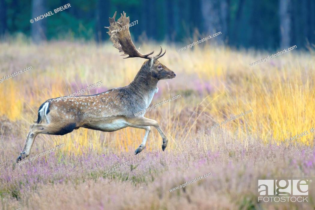 Imagen: Running Fallow Deer (Cervus dama) in Autumn, Hesse, Germany, Europe.