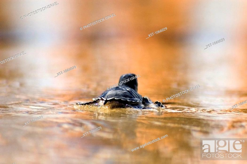 Stock Photo: Israel, Maagan Michael beach, Chelonia mydas, green turtle after hatching on their first voyage to the Mediterranean Sea wading in the shallow water  September.