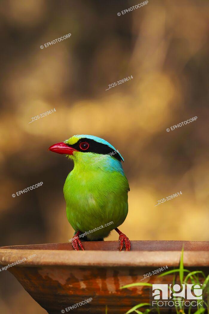 Imagen: Common green magpie, Cissa chinensis, Sattal, Nainital Uttarakhand, India.