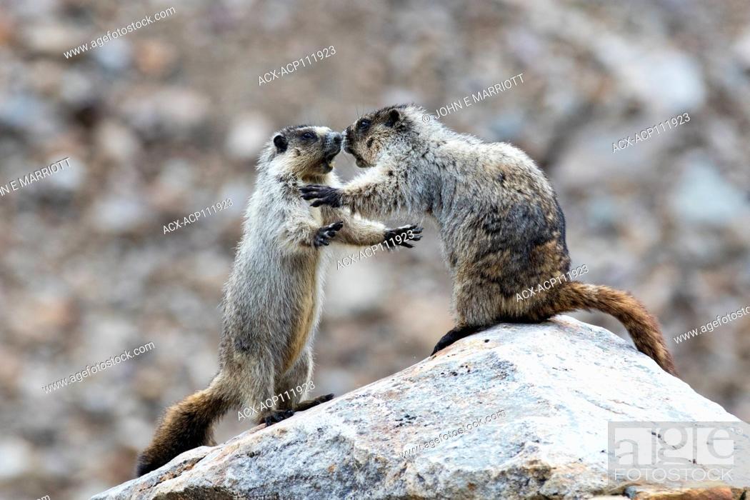 Stock Photo: Hoary marmots wrestling.