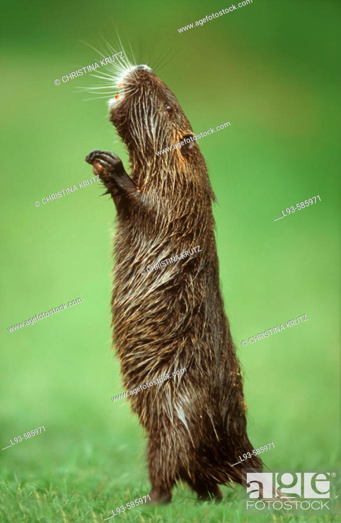 Stock Photo: South American Nutria (Myocastor coypus).