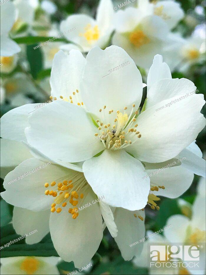 Stock Photo: Flowers of almond tree.