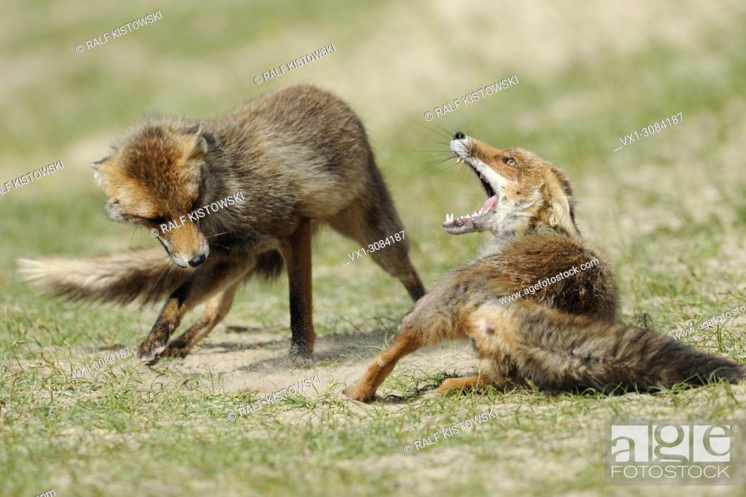Imagen: Red Foxes ( Vulpes vulpes ), rivals in fierce fight, struggle, chasing each other, wildlife, Europe.