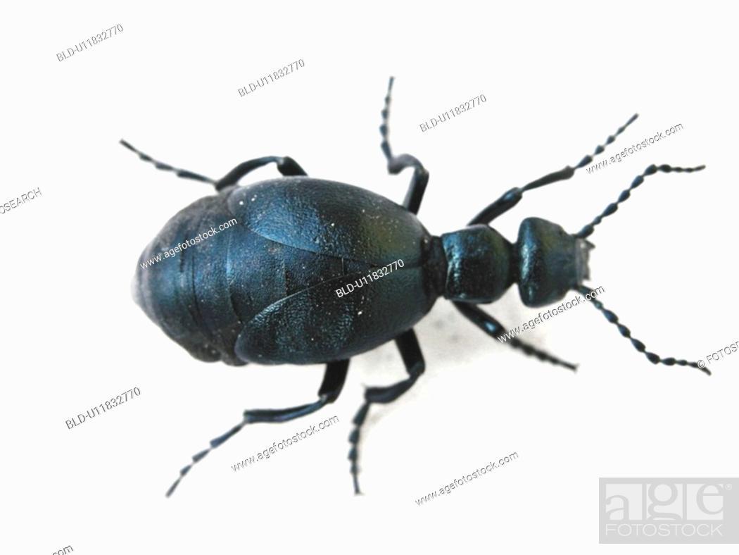 Stock Photo: animals, black, beetle, Austria, alfred.