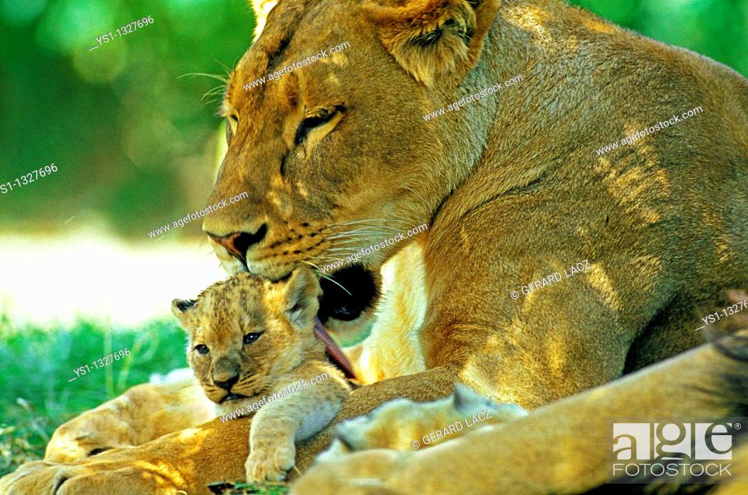Stock Photo: AFRICAN LION panthera leo, MOTHER LICKING BABY.