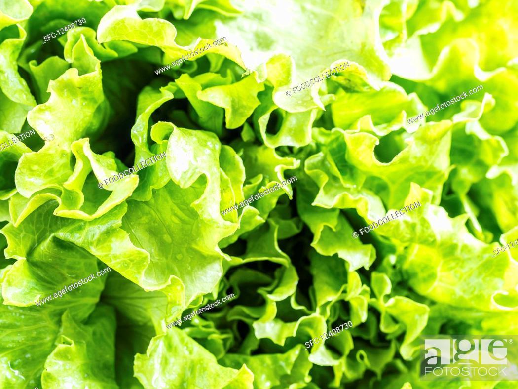 Stock Photo: Fresh organic lettuce.