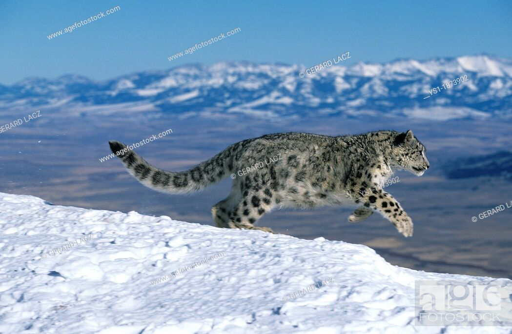 Stock Photo: Snow Leopard or Ounce, uncia uncia, Adult running through Mountain.