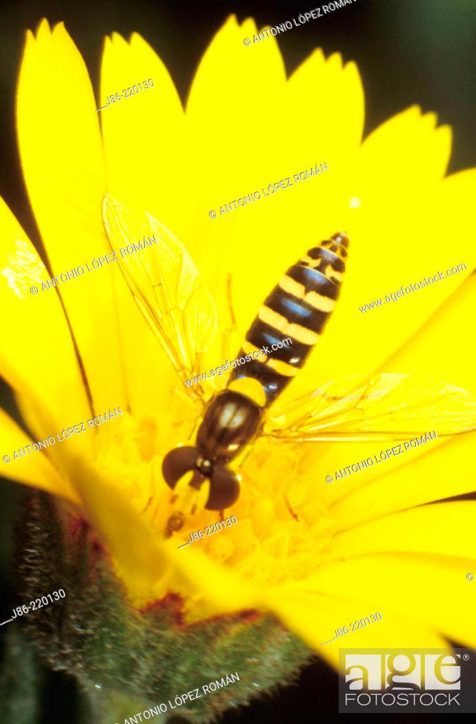 Stock Photo: Fly (fam. Syrphidae) on wildflower (Calendula arvensis).