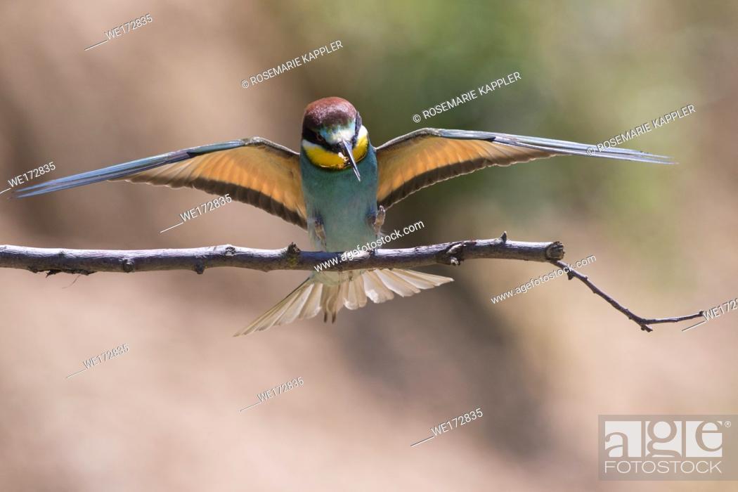 Stock Photo: Eurasian bee-eater in a sandpit near gerolsheim in palatia.