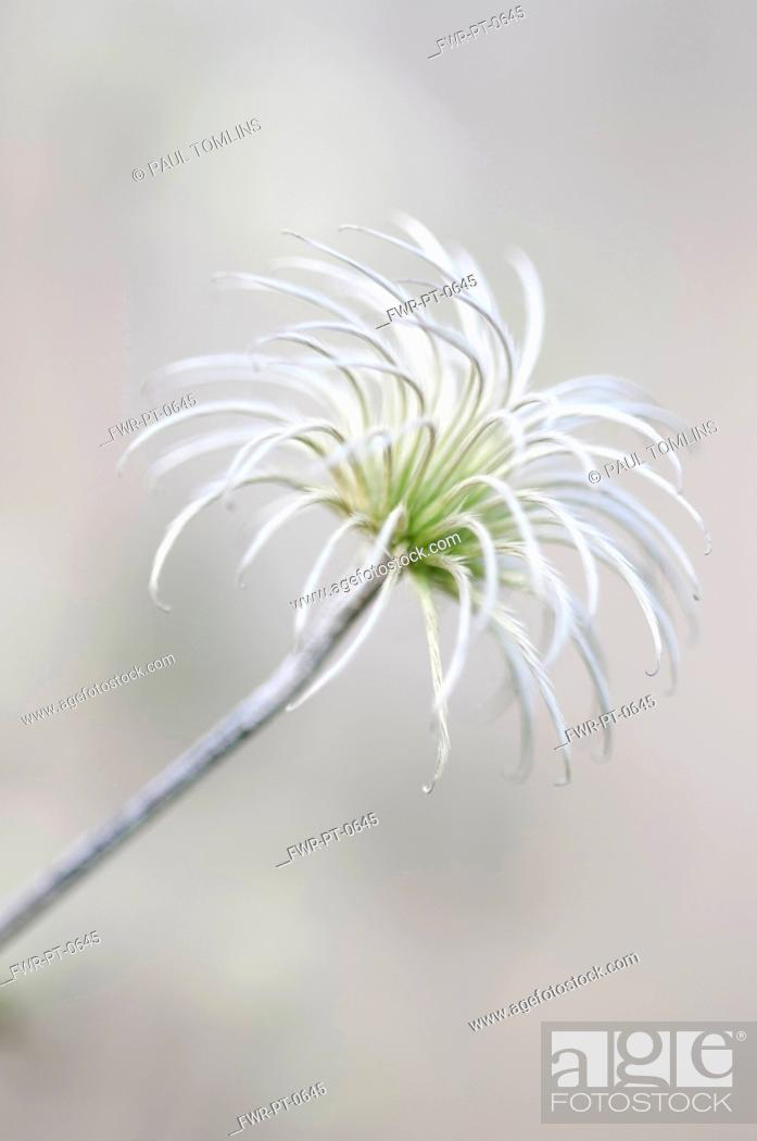 Stock Photo: Clematis 'Arabella', Clematis, White subject.