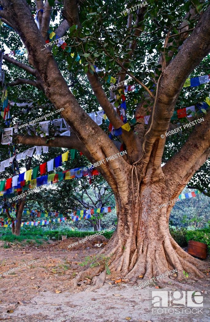 Stock Photo: Ancient tree and prayer flags, Lumbini, Nepal.