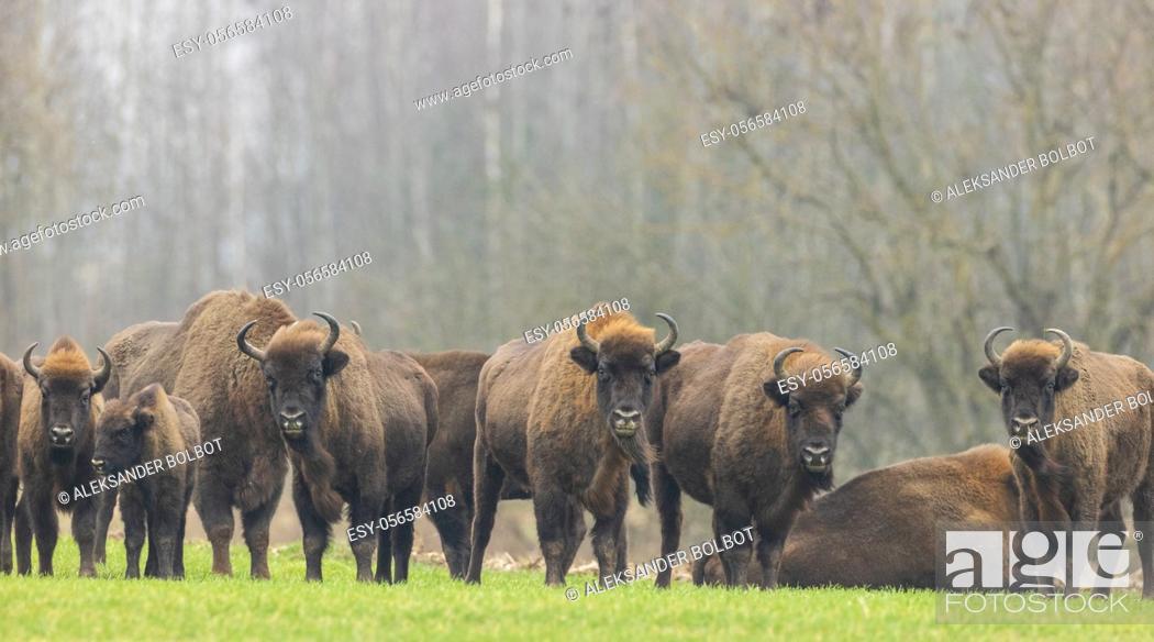 Stock Photo: European Bison herd in snowless winter time against trees in morning, Podlasie Region, Poland, Europe.
