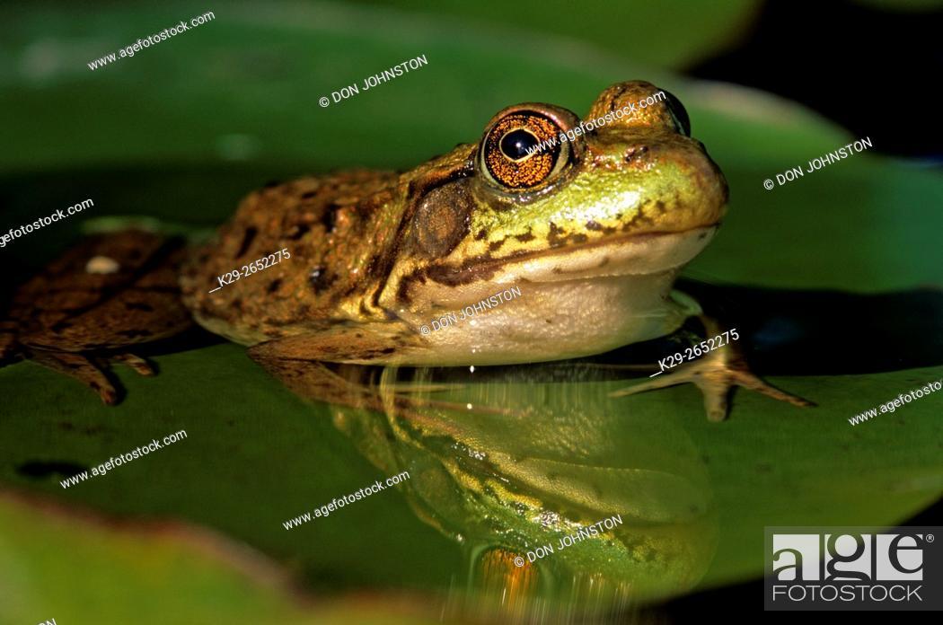 Photo de stock: Mink frog (Rana septentrionalis), Greater Sudbury, Ontario, Canada.