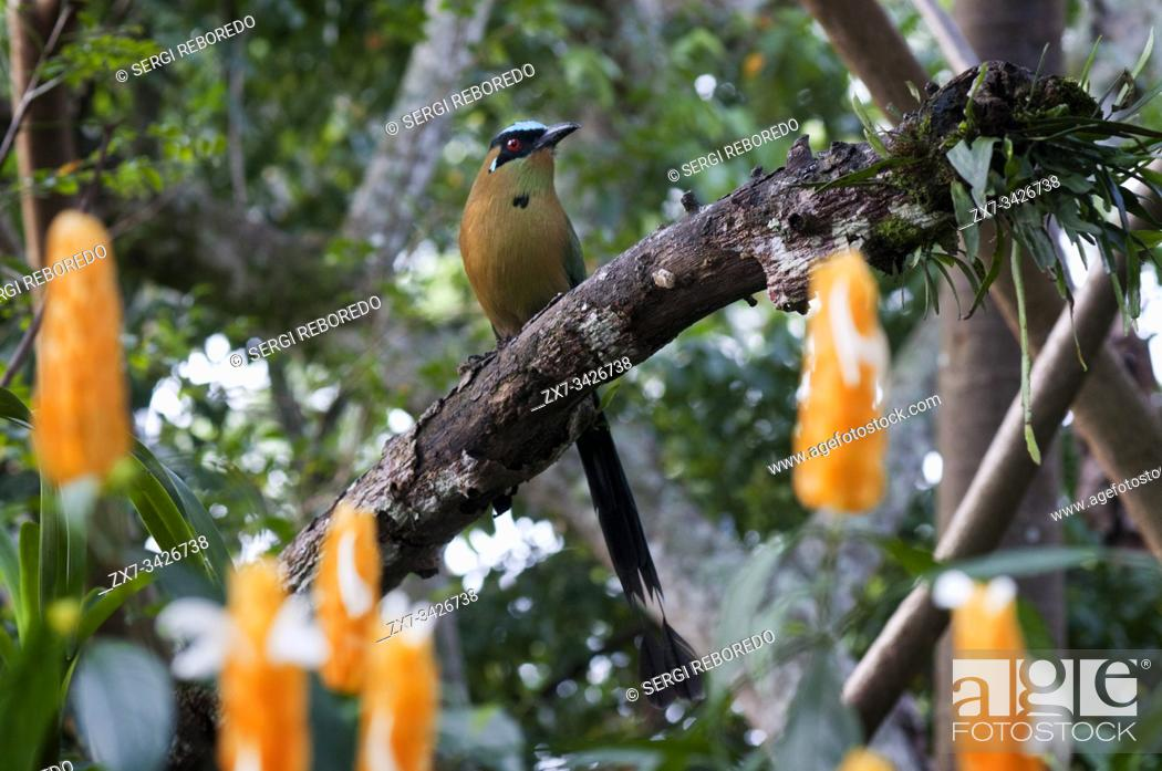 Stock Photo: THE BARRANQUERO is a very colorful and beautiful bird that has a wide distribution in America, and Colombia mainly inhabits the sub-Andean forests and dry.