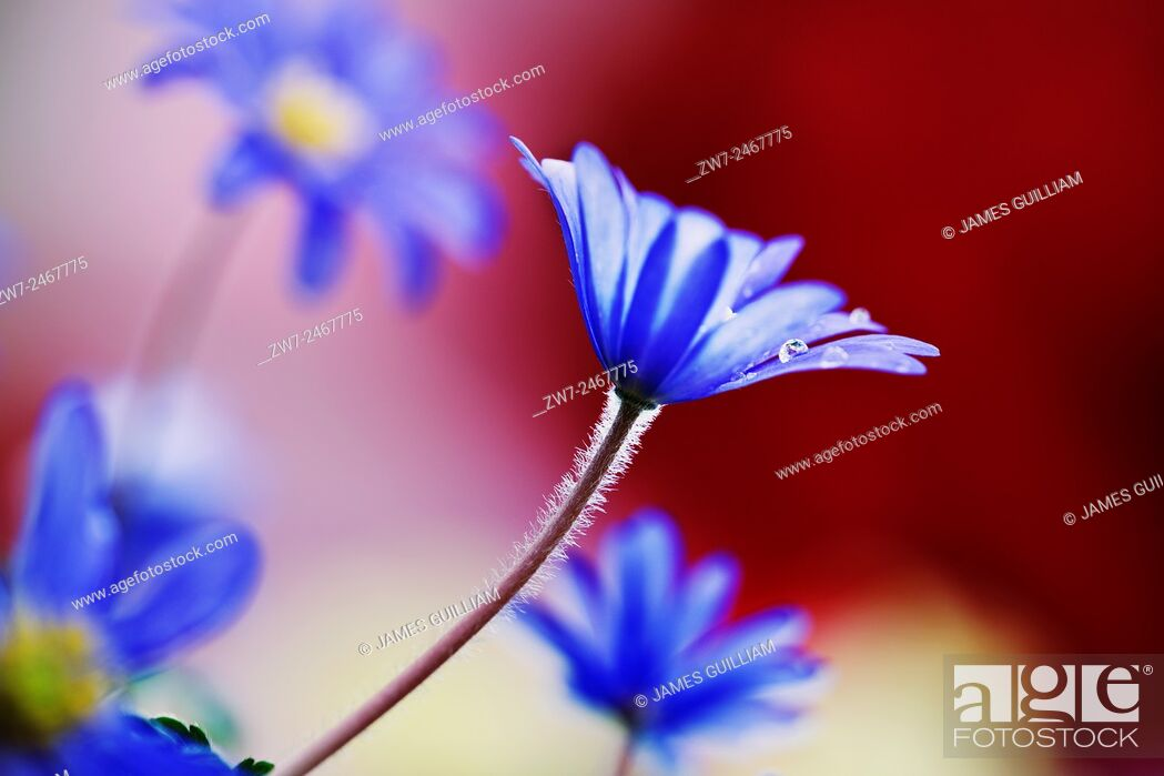 Stock Photo: Anemone blanda spring flowering bulb corm.