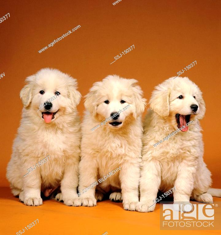Three Kuvasz Puppies Stock Photo Picture And Rights Managed Image