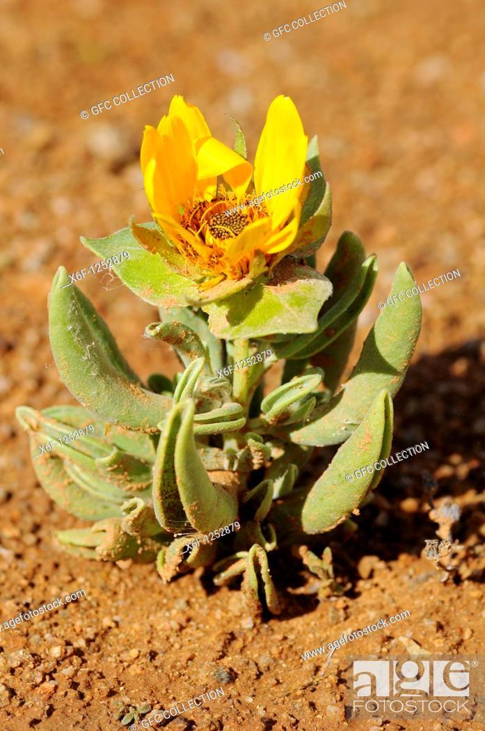 Stock Photo: Didelta carnosa in habitat, Perdeblom, Richtersveld, South Africa.