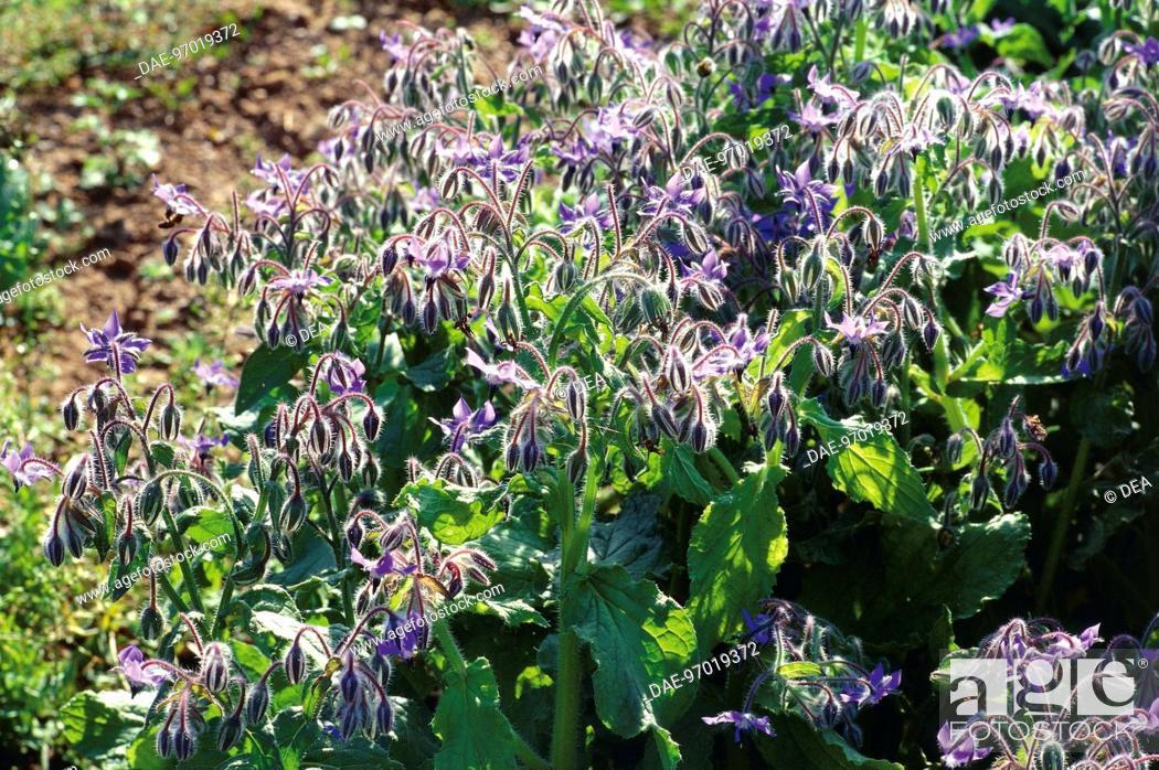 Stock Photo: Borage (Borago officinalis).