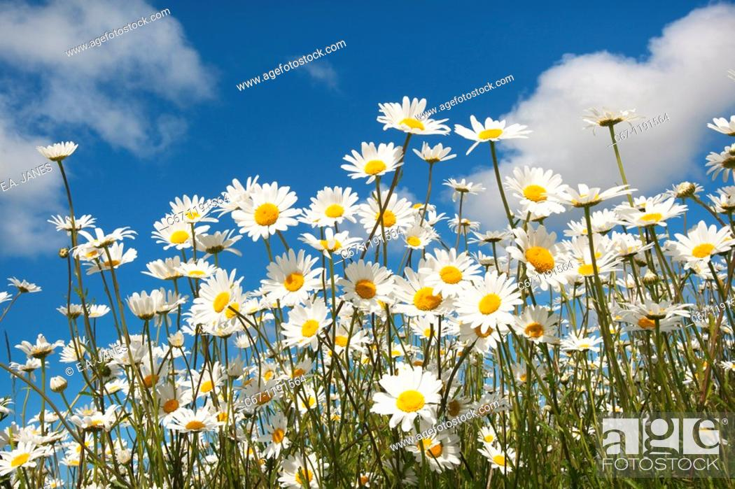 Stock Photo: Ox-eye Daises Leucanthemum vulgare in farm-set-aside scheme.