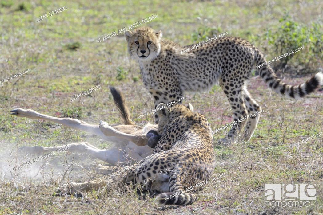 Stock Photo: Female Cheetah (Acinonyx jubatus) mother with cub killing a just hunted wildebeest (Connochaetes taurinus) calf, Ngorongoro conservation area, Tanzania.